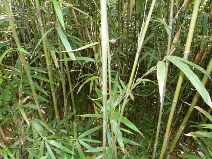 Tonkin Bambusstange gruen CONBAM