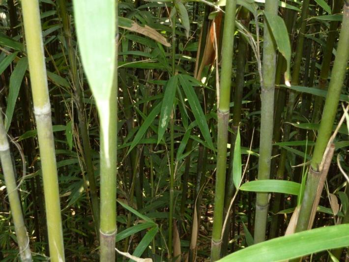 grüne Tonkin Bambusstäbe CONBAM Import Export