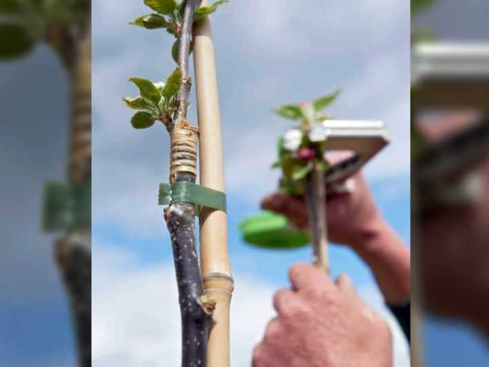 Bambusstangen für Baumschulen