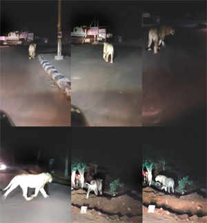 Is a lion on the prowl in Bengaluru?