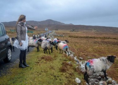 Wild Roaming Sheep on Achill Island, Ireland, Mayo
