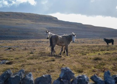 Wild Horses at the Burren, Wild Atlantic Way Road Trip West Coast of Ireland