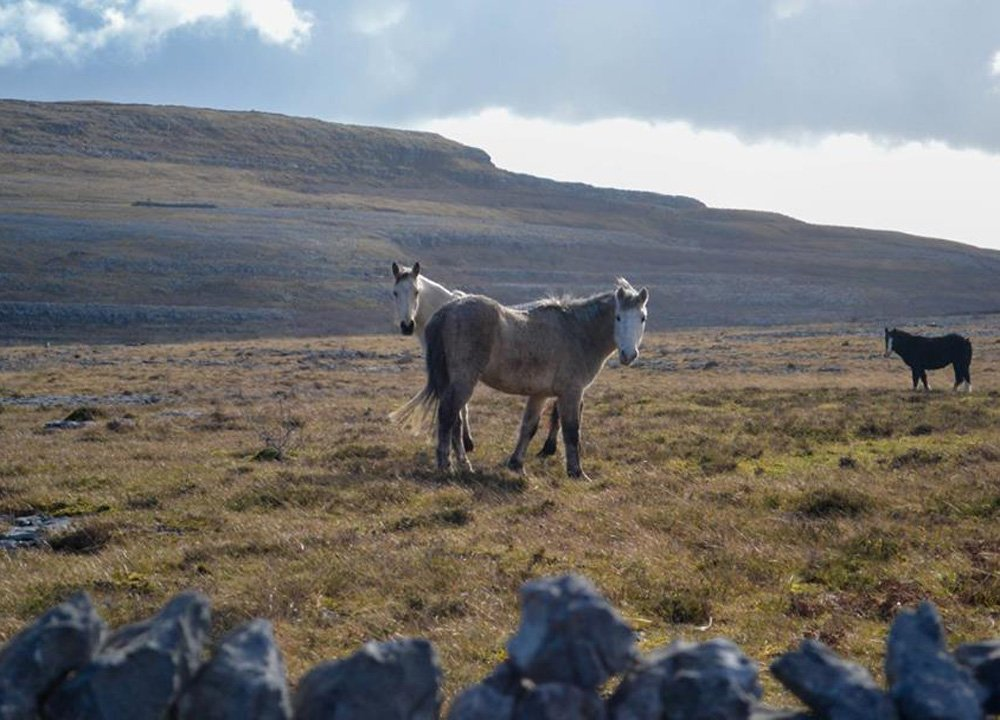 Wild Horses at the Burren, Wild Atlantic Way Road Trip West Coast of Ireland