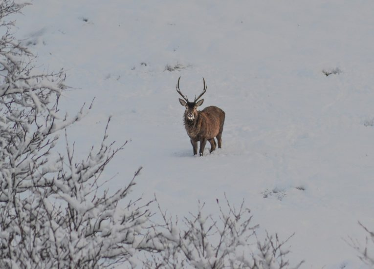 Deer in Snow, Scotland Road Trip in Scottish Highlands in Winter Snow