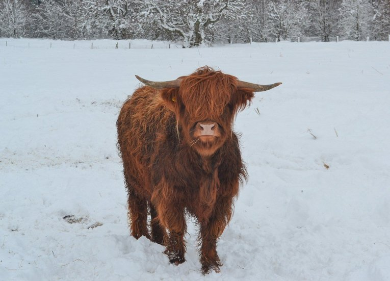 Highland Cattle in Snow, Scotland Road Trip in Scottish Highlands in Winter Snow