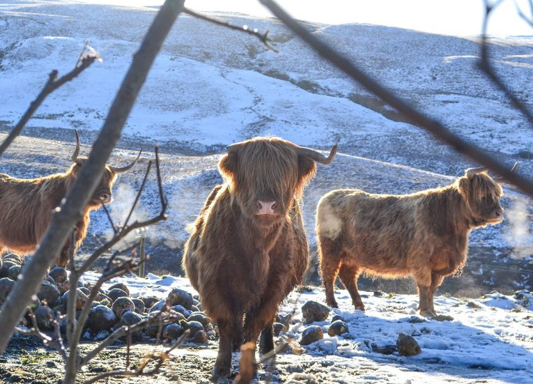 Highland Cattle, Scotland Road Trip in Scottish Highlands in Winter Snow
