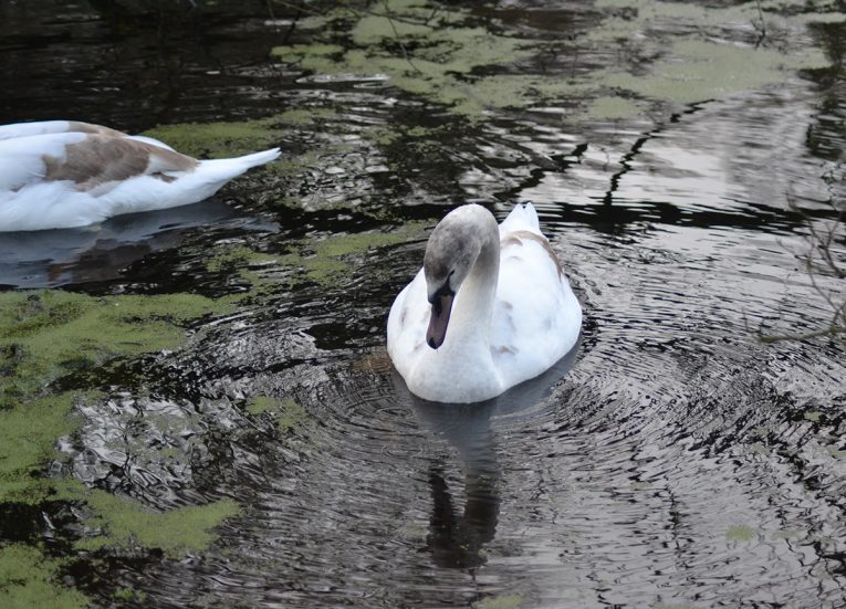 Wild Swans at the Clandeboye Wetlands near Helen's Tower Bangor Northern Ireland