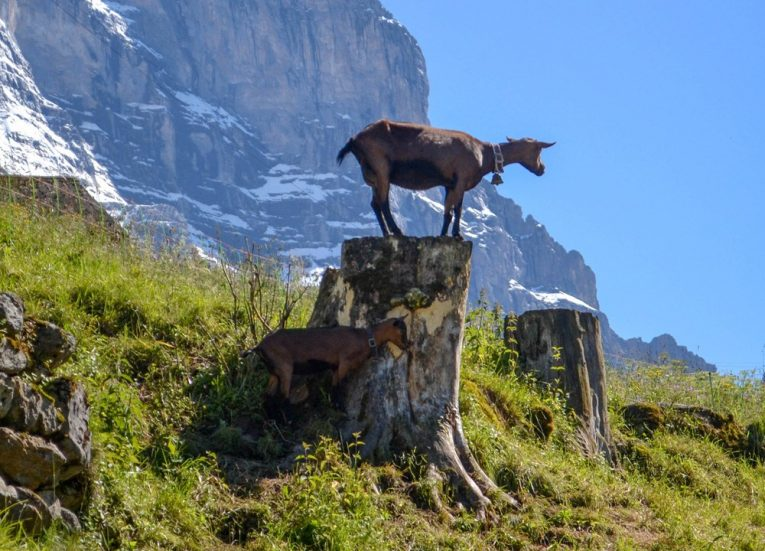 Swiss Mountain Goat 3-Day Jungfrau Travel Pass