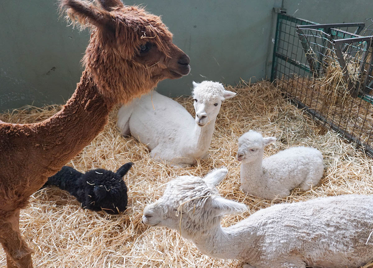 Alpaca Family at Streamvale Open Farm in Dundonald Belfast