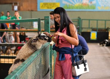 Feeding Sheep at Streamvale Open Farm Belfast Northern Ireland