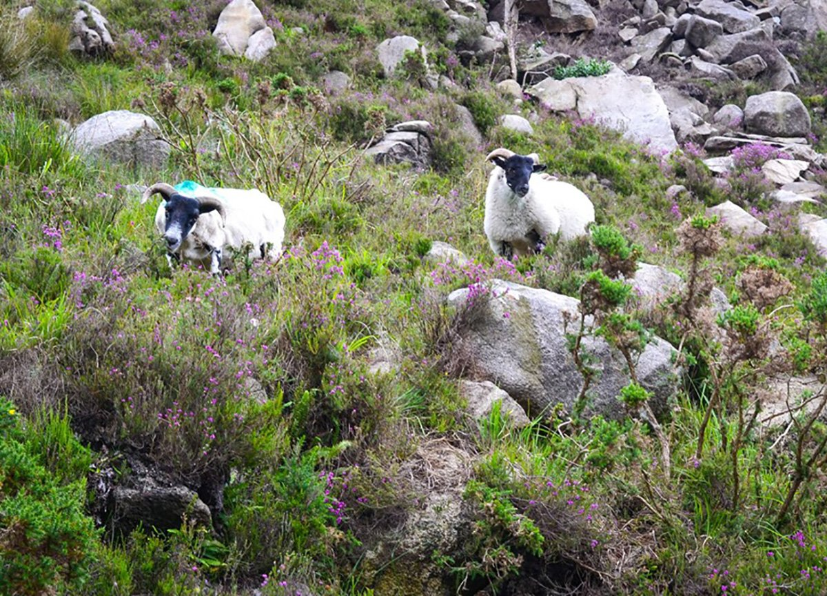Fluffy Sheep at Ben Crom Mountain and Silent Valley