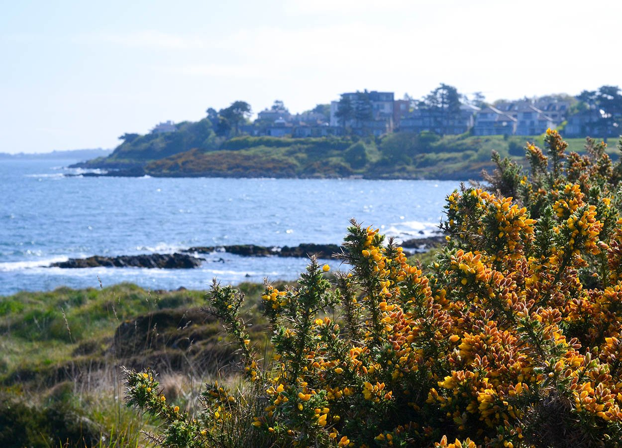 Gorse Bushes Carnalea Coastal Path. Stricklands Glen to Kerr Wood Loop