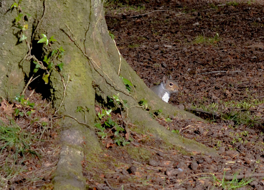 Wild Squirrels at Ker Wood at Carnalea aka Lovers Walk in Bangor West NI