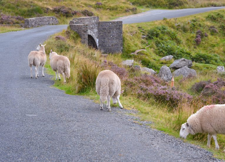 Sheep Sally's Gap Wicklow Mountains Ireland's Ancient East Road Trip Itinerary