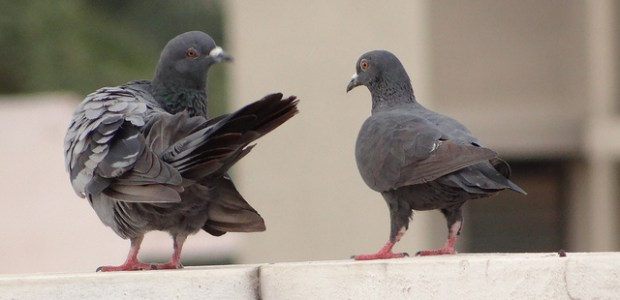 A study at the University of California Davis has found that pigeons areable to distinguish between healthy and cancerous breast tissue samples. Despite having a […]