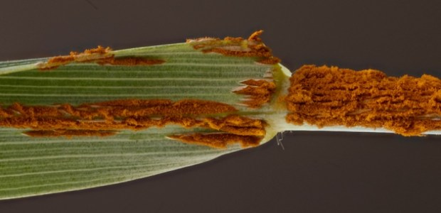 A new strain of wheat rust could be poised to spread across Europe and the Mediterranean, covering leaves and stems with a rusty brown growth. […]