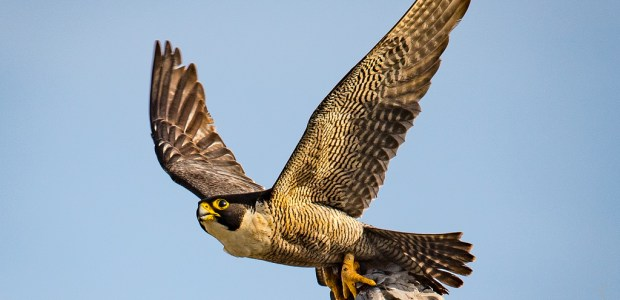 Members of the Oxford Department of Zoology have tracked peregrine falcons in the field as they attacked dummy prey – and discovered that they use […]