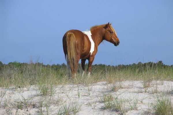 Eastern Shore of Virginia, a brown and white Assateague pony on a sandy beach dune crowned with marsh grass.