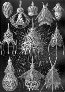 Haeckel, Ernst, Banque de l'image_Cyrtoidea