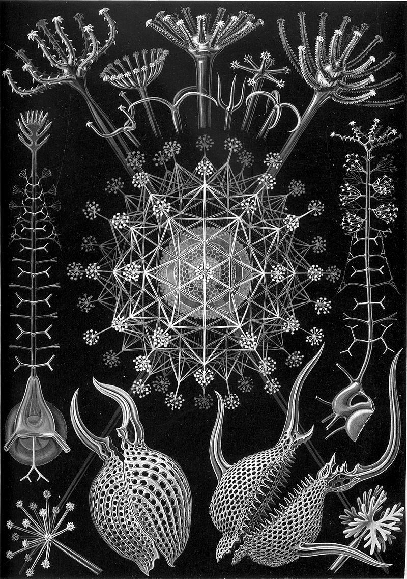 Haeckel, Ernst, Banque de l'image,_Phaeodaria_61