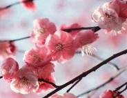 branche cerisier ©thinkstock banque de l'image