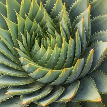 Rosace cactus, banque de l'image