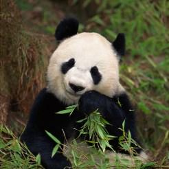 cd-photo-Panda-bear-eating,Photos.com,87762807-30x15