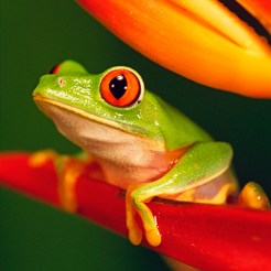 cd-photo-rainette-aux-yeux-rouges-red-eyed-tree-frog-87713689-30x15