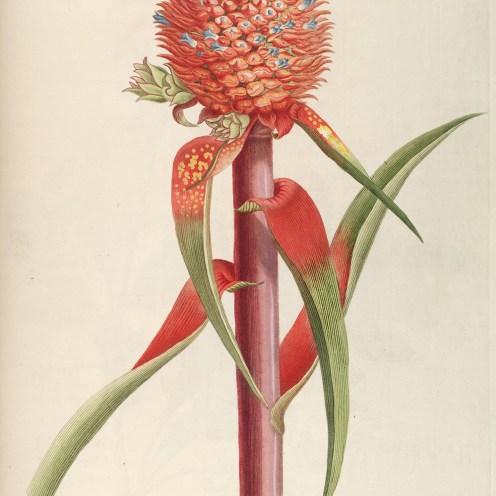 Georg-Dionysius-Ehret-Plantae_selectae_quarum_imagines_ad_exemplaria_naturalia_Londini,_in_hortis_curiosorum_nutrita_(Tab._III)_BHL677924