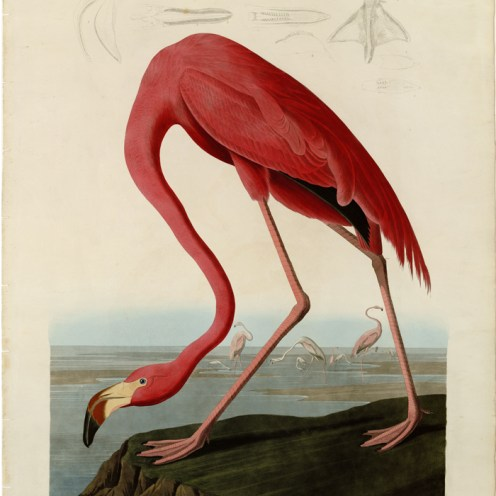 Flamand rose americain 40x50