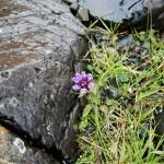 Petite fleur violette sur les rochers au sud de l'Île de Mull en Ecosse. - Blog Le Bar à Voyages
