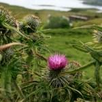 Le fameux chardon d'Ecosse en bord de mer sur l'Île de Mull - Ecosse. - Blog Le Bar à Voyages