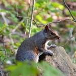 Écureuil croisé près des chutes de la Chaudière - Québec