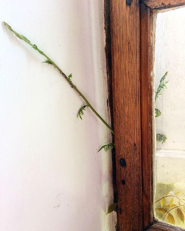 La glycine s'invite à l'intérieur... les fourmis aussi !