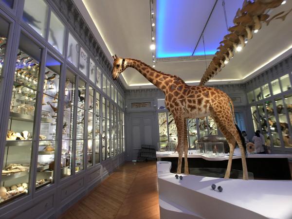 girafe au Muséum de Bordeaux