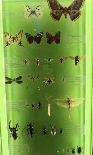 papillons et insectes en vitrine au Muséum de Bordeaux
