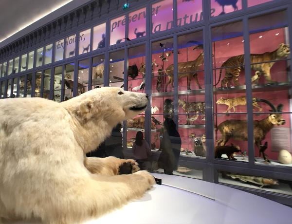 ours polaire devant des vitrines d'animaux au Muséum de Bordeaux