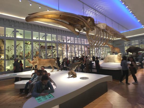 Squelette de baleine dans la salle des vitrines du Muséum de Bordeaux
