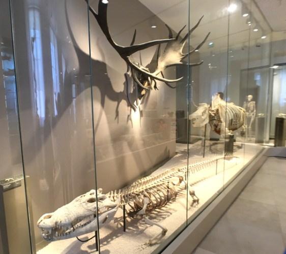 squelettes d'animaux en vitrine au Muséum de Bordeaux