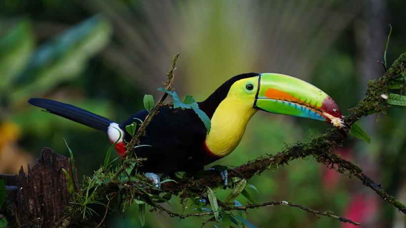 Un toucan du Costa Rica, oiseau emblématique