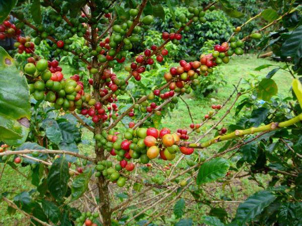 caféier et ses grains