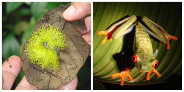 Espèces animales endémiques du Costa Rica