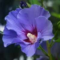 Hibiscus_lila