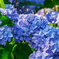 Hortenzia_kék