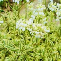 Macedon ikravirág