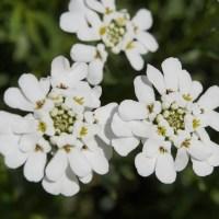 Tatárvirág_fehér
