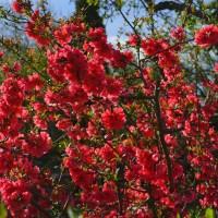 japánbirs_piros