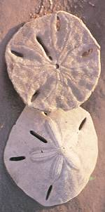The Mysterious Sand Dollar