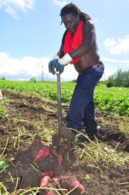 Hector digging up sweet potatoes on a plantation near Crab Hill.