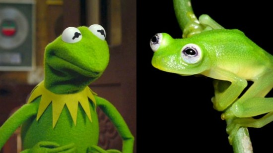 The newly discovered H. dianae bears an uncanny resemblance to the popular Muppet Kermit (left).